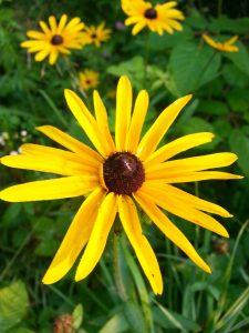 Rudbeckia Hirta Black-Eyed Susan bloom