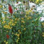summer wildflower garden rudbeckia echinacea lobelia