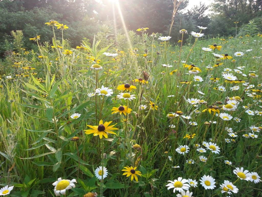 Black Eyed Susan in Meadow Rudbeckia