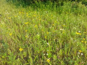 Black Eyed Susan / Rudbeckia in Meadow