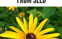 rubeckia from seed pinterest