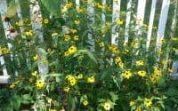 Brown Eyed Susan, Rudbeckia Triloba in bloom