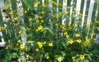 Brown Eyed Susan, Rudbeckia Triloba in bloom