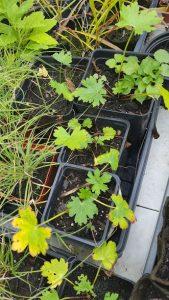 Callirhoe involucrata Seedlings