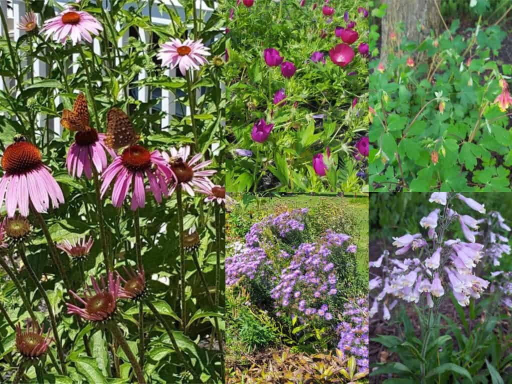 perennial native plants. flowers that give color all summer