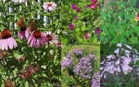 native perennial flowers for color all summer