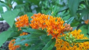 Asclepias Tuberosa Butterfly Weed buds and bloom