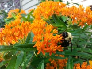 Bee Pollinating, Asclepias Tuberosa, Butterfly Weed