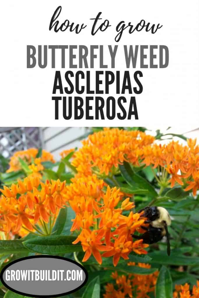 How to grow Butterfly Weed