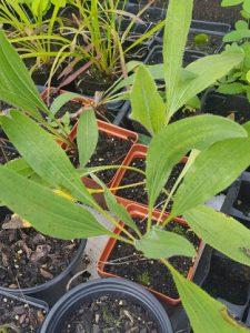 Echinacea Pallida Seedling