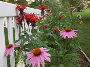 Echinacea Purpurea and Bee Balm