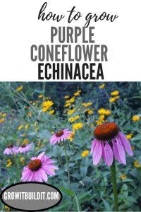 Echinacea Purpurea Coneflower Pinterest