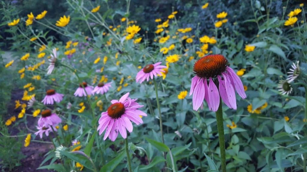 Echinacea purpurea blooming with heliopsis