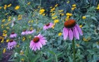 Echinacea Purpurea Purple Coneflower with heliopsis blooms
