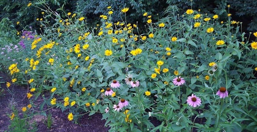 False (Early) Sunflower,Heliopsis Helianthoides