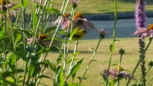 A Goldfinch on a cone flower, Echinacea purpurea