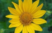 Heliopsis Helianthoides, False Sunflower