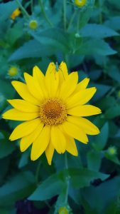 Heliopsis Helianthoides, False Sunflower with bug on bloom