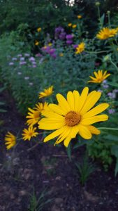 Heliopsis Helianthoides, False Sunflower bloom