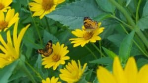 Heliopsis Helianthoides, False Sunflower with butterflies