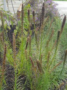 Liatris Spicata, Blazing Star - Ready for Seed Harvest!