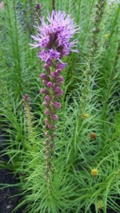 Liatris Spicata, blazing star bloom close-up