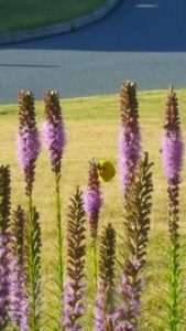 Liatris Spicata Blazing Star Goldfinch