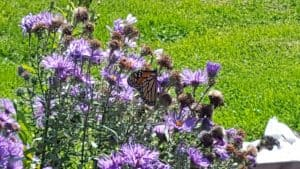Monarch Butterfly on New England Aster Symphyotrichum novae-angliae