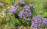New England Aster in Bloom