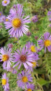 Detail of flower for New England Aster