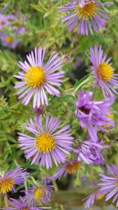 Detail of Flower for New England Aster, Symphyotrichum novae-angliae