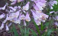 Penstemon hirsutus, Hairy Beardtongue