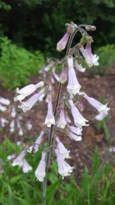 Penstemon hirsutus, Hairy Beardtongue bloom