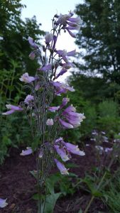 Penstemon hirsutus, Hairy Beardtongue purple bloom