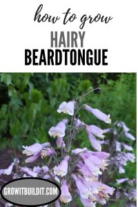 Penstemon hirsutus Hairy Beardtongue
