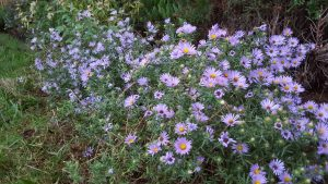Aromatic Aster close up blooms