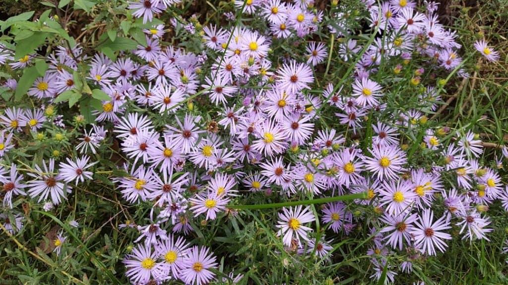 Symphyotrichum oblongifolium Aromatic Aster Flower Blooms