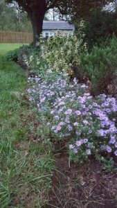 Aromatic Aster with Spotted Bee Balm in background