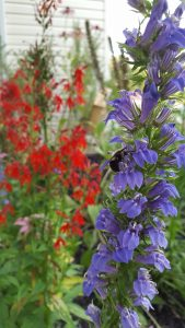 Great Blue Lobelia with Bumble Bee