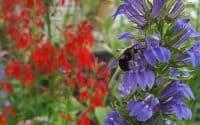 Great Blue Lobelia with Bumble Bee