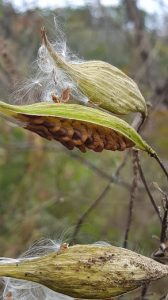 butterfly milkweed seed pods