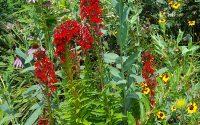 Cardinal Flower Blooms native plant garden