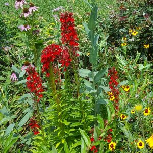 Cardinal Flower Blooms native plant garden