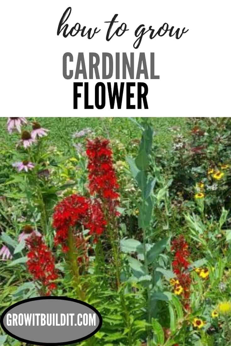 cardinal flower pin.jpg