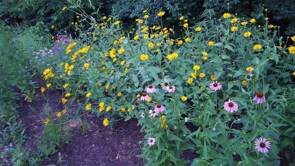 coneflower, echinacea purpurea, Heliopsis Helianthoides, monarda fitusola, native plants