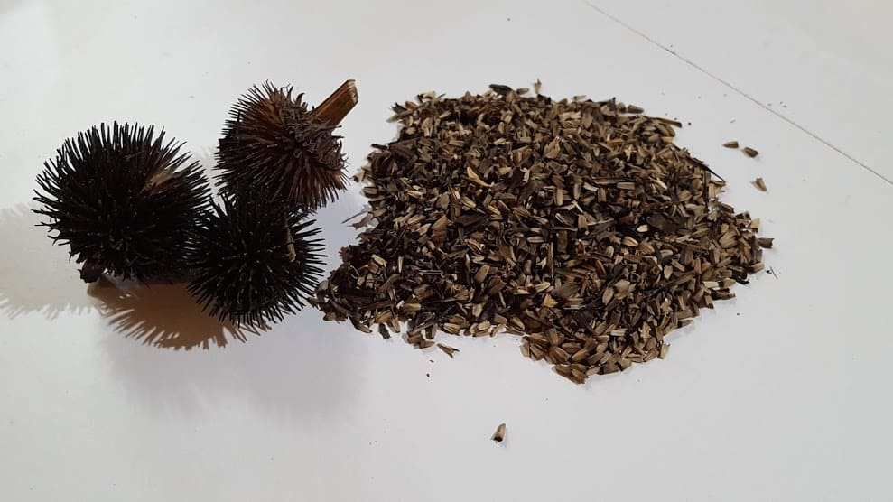 Echinacea seed heads and seed coneflower