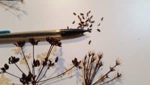 Golden Alexander Seeds Zizia Aurea