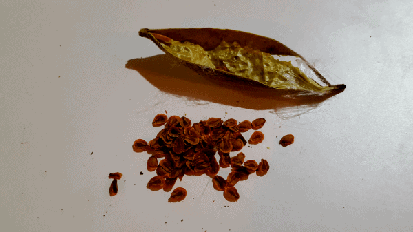 Milkweed Seeds with pod asclepias