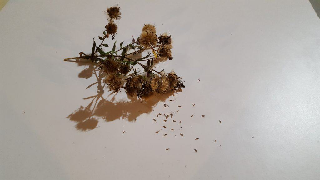 New England Aster Seed Head and Seeds