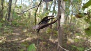 Eastern redbud seed pods